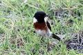 Vogel in Antananarivo.JPG
