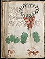 Voynich Manuscript (80).jpg