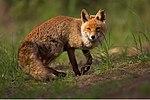 Vulpes vulpes 1 (Martin Mecnarowski)