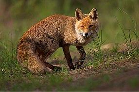 Vulpes vulpes 1 (Martin Mecnarowski).jpg