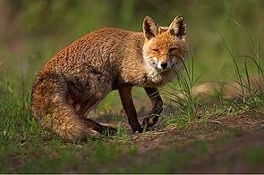 Rotfuchs (Vulpes vulpes)  Bellender Fuchs?/i