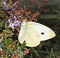 WHITE, CABBAGE (Pieris rapae) (8-20-10) patagonia, scc, az (9423588202).jpg