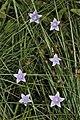 Wahlenbergia krebsii (Campanulaceae) (6932175415).jpg
