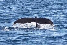 Wal Länge