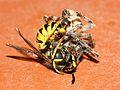 Wasp vs Spider Fight (2786710020).jpg