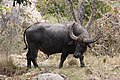 Water buffalo at Rinca.jpg