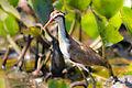 Wattled Jacana - Gallito de laguna (Jacana jacana) juvenil (9730031680).jpg
