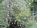 Weaver nests (393959766).jpg