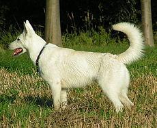 Pastore Svizzero Bianco Wikipedia