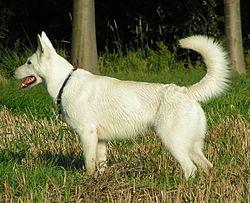 Weißer schäferhund.jpg