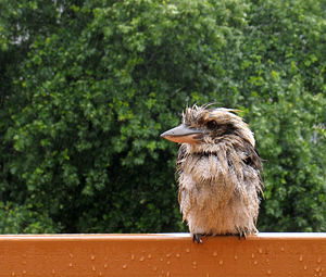 Wet kookaburra 6674 Crop Edit.jpg