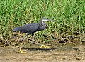 Wetland and Western Reef Heron, Greater Accra region, Ghana.jpg