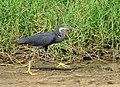 Wetland and Western Reef Heron, Greater Accra region, Ghana.jpg