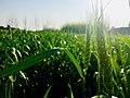 Wheat field in Pakistan 2018-05-02.jpg