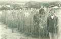 Wheat plot Duke St School Toodyay 1920s.jpg
