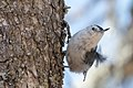 White-breasted Nuthatch (28136627054).jpg