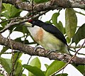 White-mantled Barbet (Capito hypoleucus) (8079738287), crop.jpg