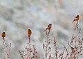 White-winged Redstart (Phoenicurus erythrogastrus) (44771182225).jpg
