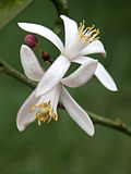 White Citrus Flowers.JPG
