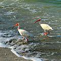 White Ibis (Eudocimus albus) in Sanibel Island 02.JPG