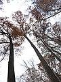 White Oak (31264439615).jpg