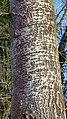 White Poplar Populus alba, Knapp, Worcs (32284784170).jpg
