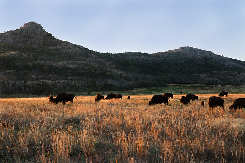 File:Wichita Mountains Bison.jpg