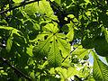 Wien-Penzing - Naturdenkmal 529 - Rosskastanienallee - Blätter.jpg