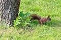 Wiewiórka w Rżuchowie w województwie świętokrzyskim, 20210508 1501 6622.jpg