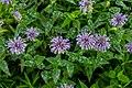 Wild Bergamot Flowers PLT-FL-WD-BG-7.jpg