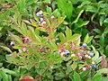 Wild Maine Blueberries.jpg