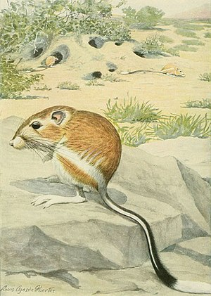 Banner-tailed kangaroo rat - Drawing by Louis Agassiz Fuertes