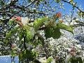 Wintereinbruch am 27. April 2016 und Apfelblüte.jpg