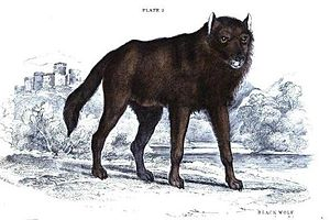 "Black wolf - Illustration of a ""European black wolf"" by Charles Hamilton Smith."