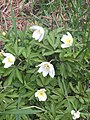 Wood Anemone (Anemone nemorosa) 2932849 - 05.JPG