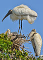 Wood storks with chicks in nest.jpg