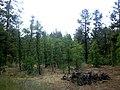 Woodland Reservoir Pine Trees - panoramio.jpg