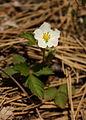 Woodland strawberry (Fragaria vesca) (7235144336).jpg