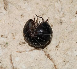 Woodlouse 2007-2.jpg