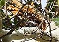 Woodpecker (14452734218).jpg