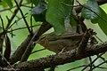 Worm-eating Warbler Fall Out Sabine Woods TX 2018-04-08 11-14-02 (40592154135).jpg