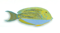 XRF-Acanthurus lineatus.png