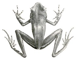 Xenophrys longipes (2).jpg