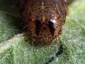 Xestia triangulum (larva) - Double square-spot (caterpillar) - Совка-треугольник (гусеница) (40388748594).jpg