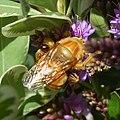 Xylocopa varipuncta-Male-5.jpg