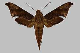 Xylophanes godmani JH117 male up edi.jpg