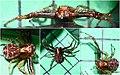 Xysticus lanio male (5360121983) (2).jpg