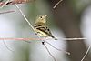 Yellow-bellied Flycatcher - Empidonax flaviventris.jpg