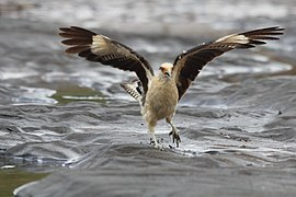 Yellow-headed Caracara (Milvago chimachima) (5772395674).jpg