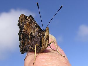 NZ Yellow_Admiral, thumbnail version